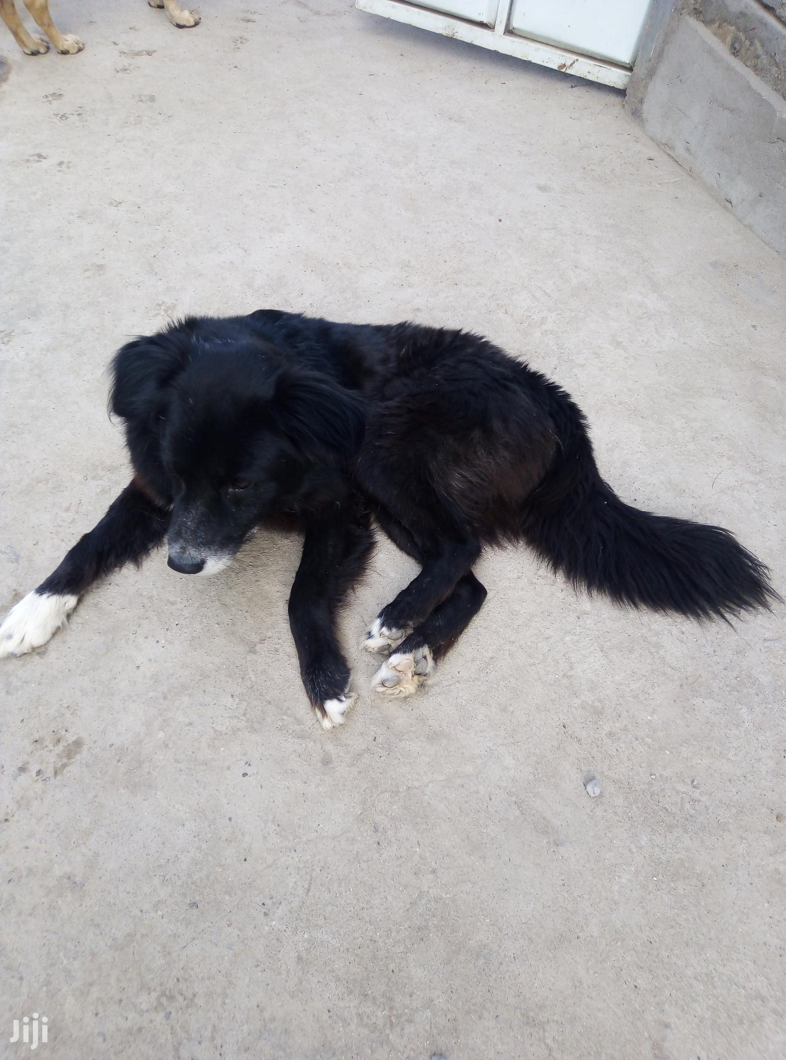 Archive: Senior Male Purebred Flat-Coated Retriever