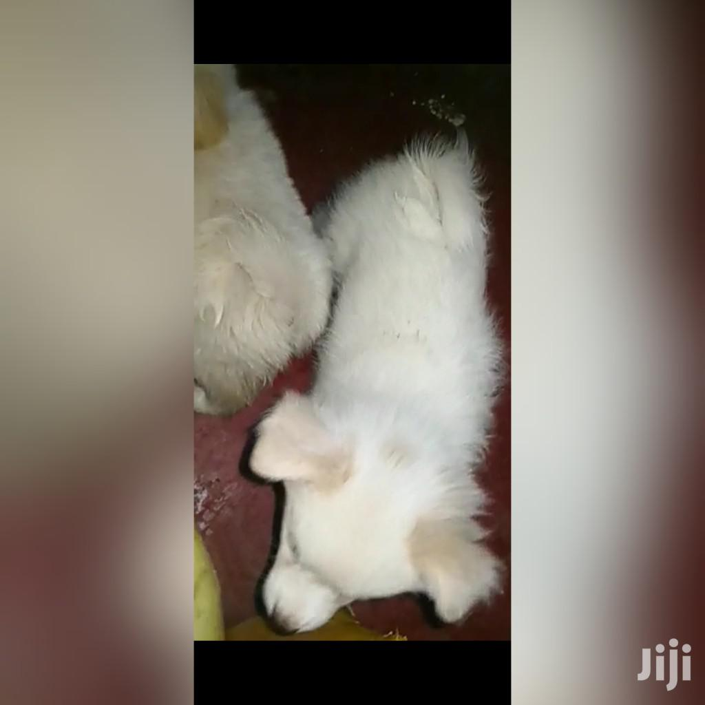 3-6 Month Male Purebred Japanese Spitz | Dogs & Puppies for sale in Nairobi Central, Nairobi, Kenya