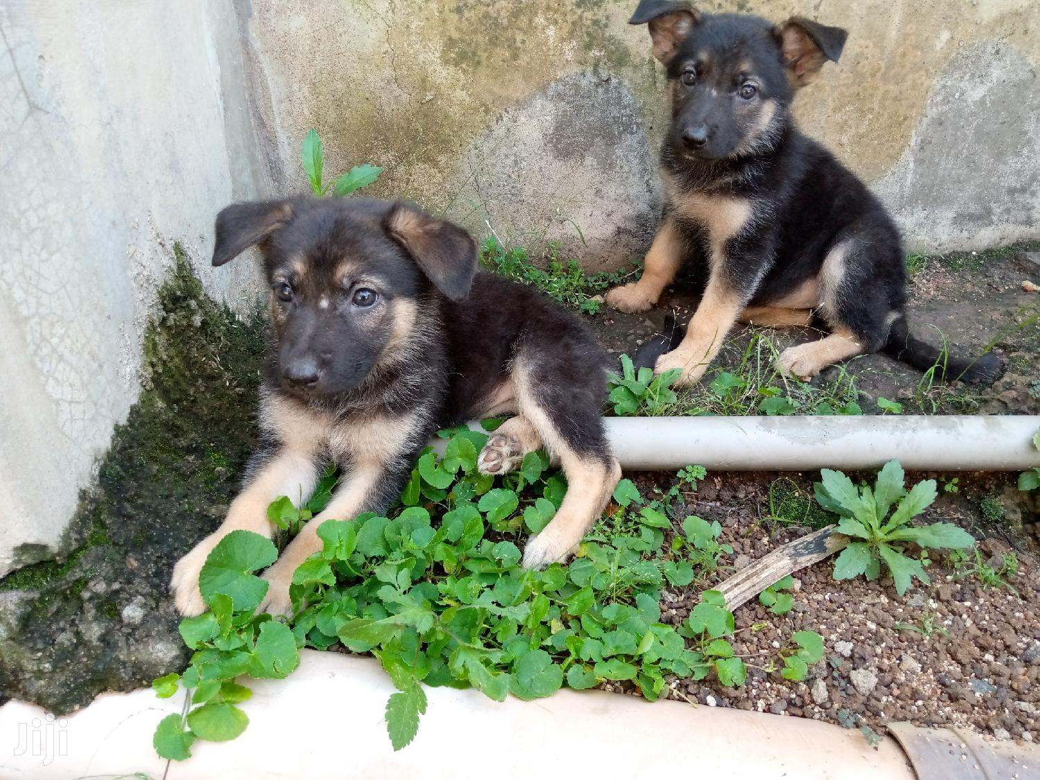 Archive: Young Female Purebred German Shepherd