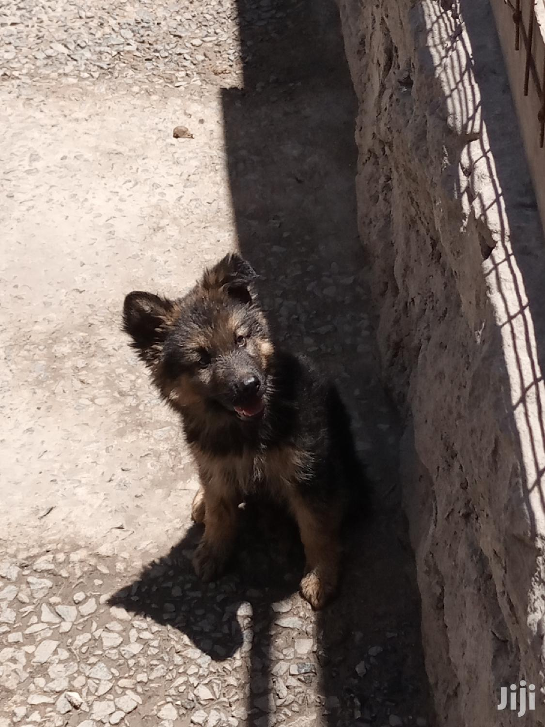 Young Male Purebred German Shepherd | Dogs & Puppies for sale in Nairobi Central, Nairobi, Kenya