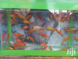 Gold Fish For Sale | Fish for sale in Nairobi, Westlands