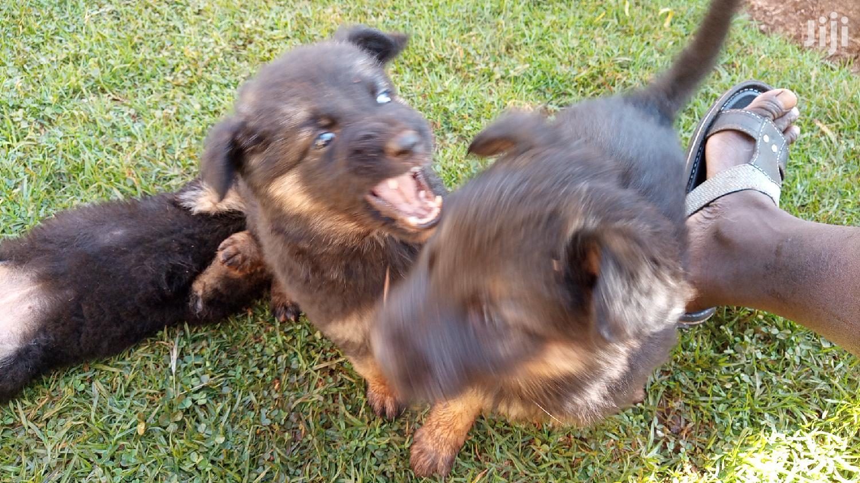Baby Male Purebred German Shepherd | Dogs & Puppies for sale in Kamakwa/Mukaro, Nyeri, Kenya