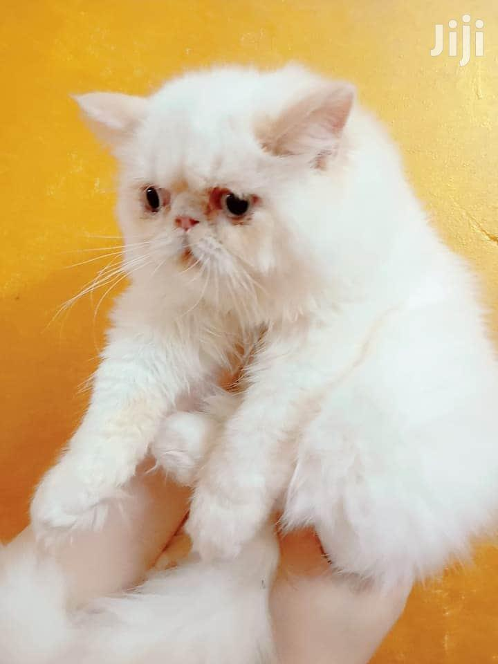 Young Male Purebred Persian | Cats & Kittens for sale in Nyali, Mombasa, Kenya