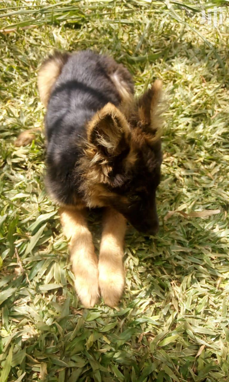 Young Female Purebred German Shepherd