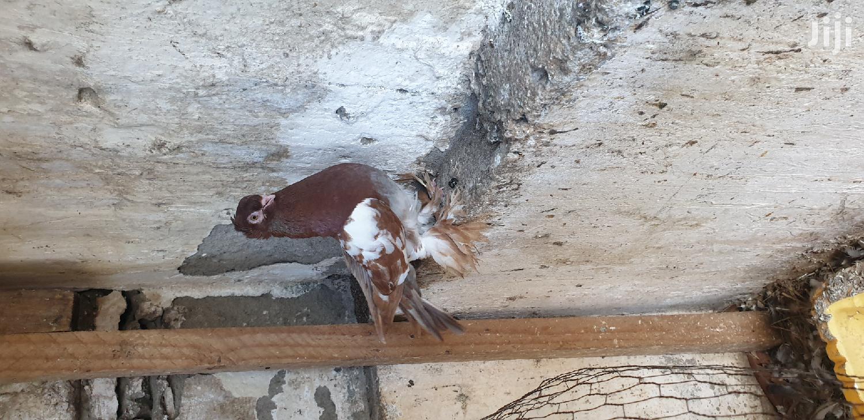 Kidomo Shungi Flea | Birds for sale in Tudor, Mombasa, Kenya