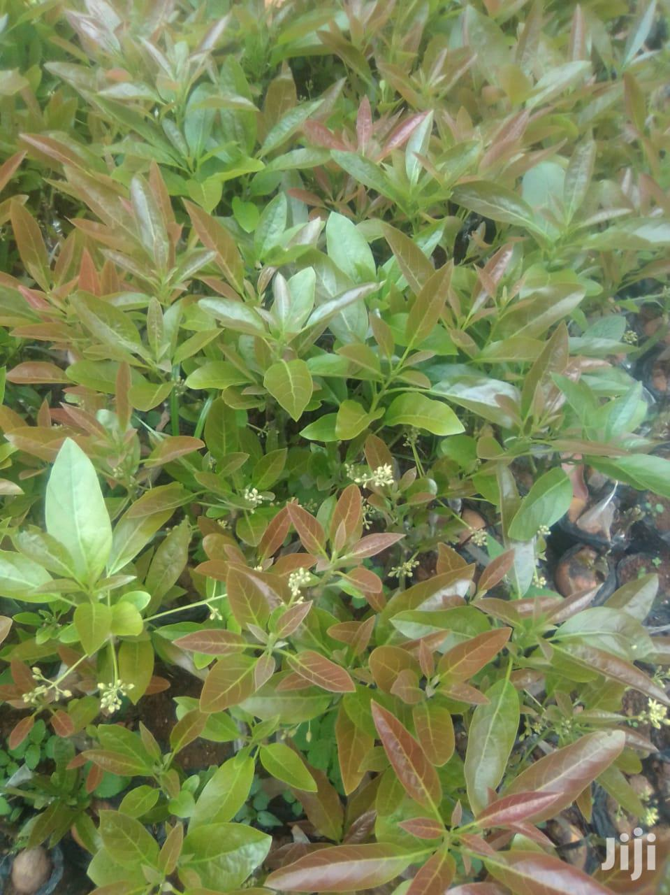 Archive: Hass Avocado Seedlings