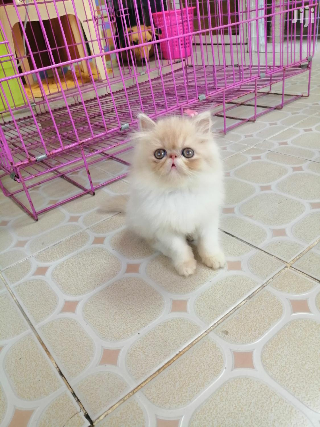 Young Male Purebred Persian