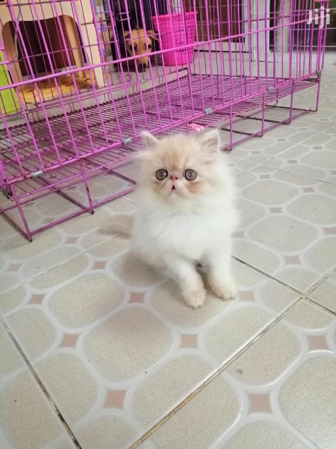 Young Male Purebred Persian | Cats & Kittens for sale in Riabai, Kiambu, Kenya
