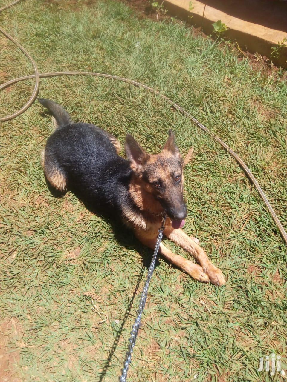 Senior Female Purebred German Shepherd | Dogs & Puppies for sale in Nairobi Central, Nairobi, Kenya