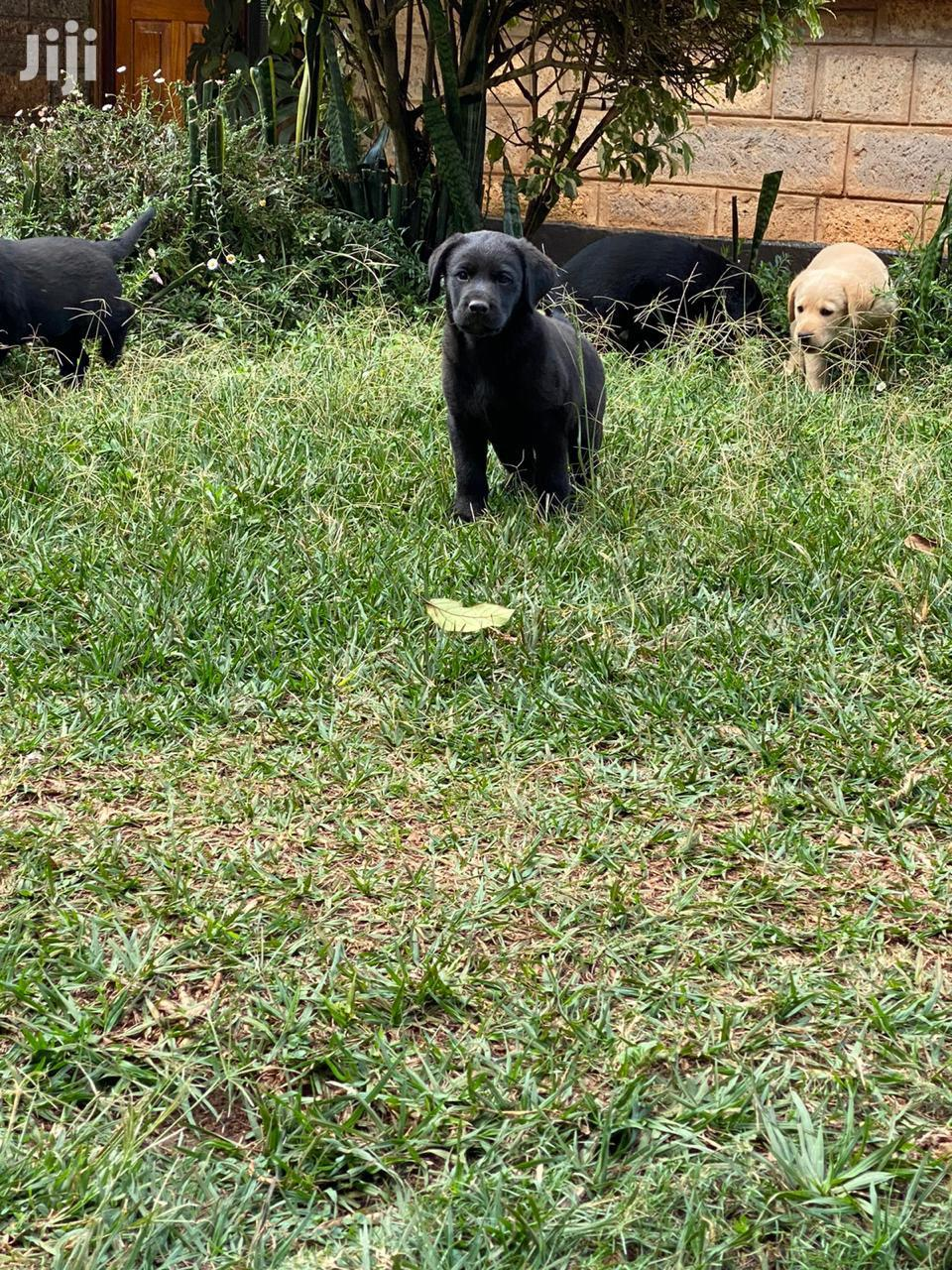 Archive: Baby Female Purebred Labrador Retriever