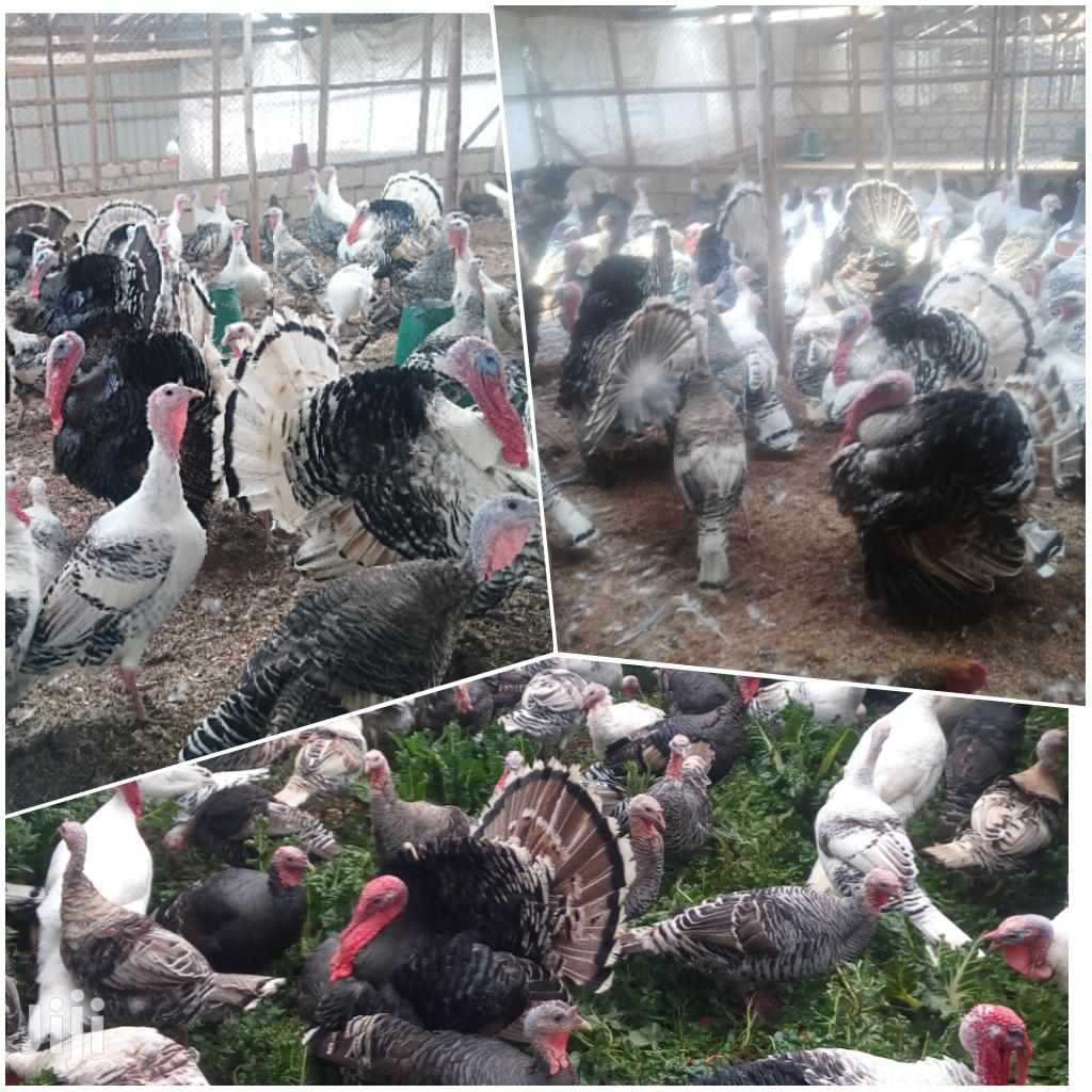 Turkey Chicks, Mature And Fertile Eggs Available