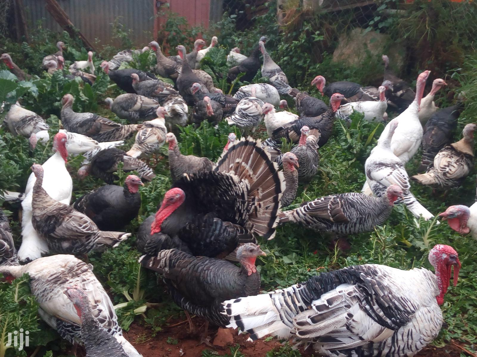 Turkey Chicks, Mature And Fertile Eggs Available | Meals & Drinks for sale in Kabete, Kiambu, Kenya