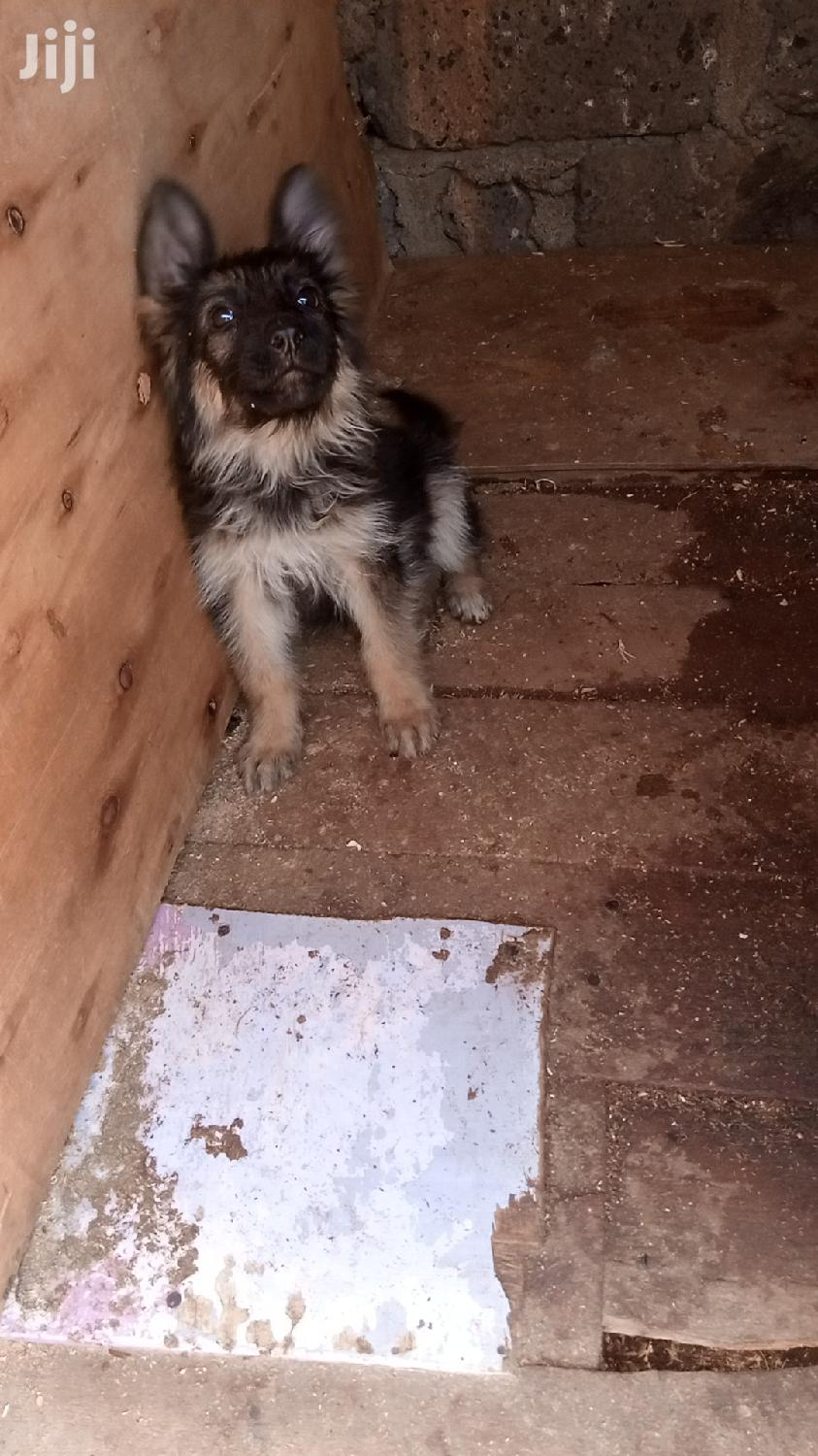 Archive: Young Male Purebred German Shepherd