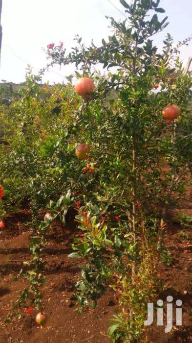 Pomegranates( Komamanga)Seedlings Two Hundred Bobs Only