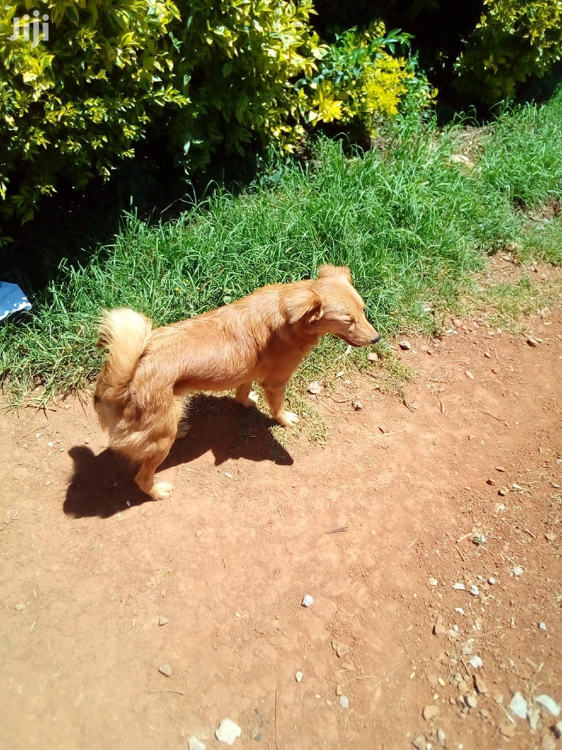 Archive: Young Female Mixed Breed Golden Retriever