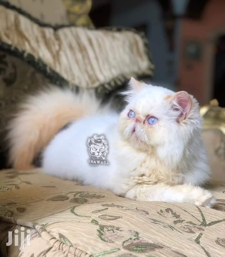 Baby Male Purebred Persian | Cats & Kittens for sale in Nyali, Mombasa, Kenya
