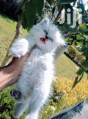 Baby Male Purebred Persian | Cats & Kittens for sale in Mombasa, Nyali
