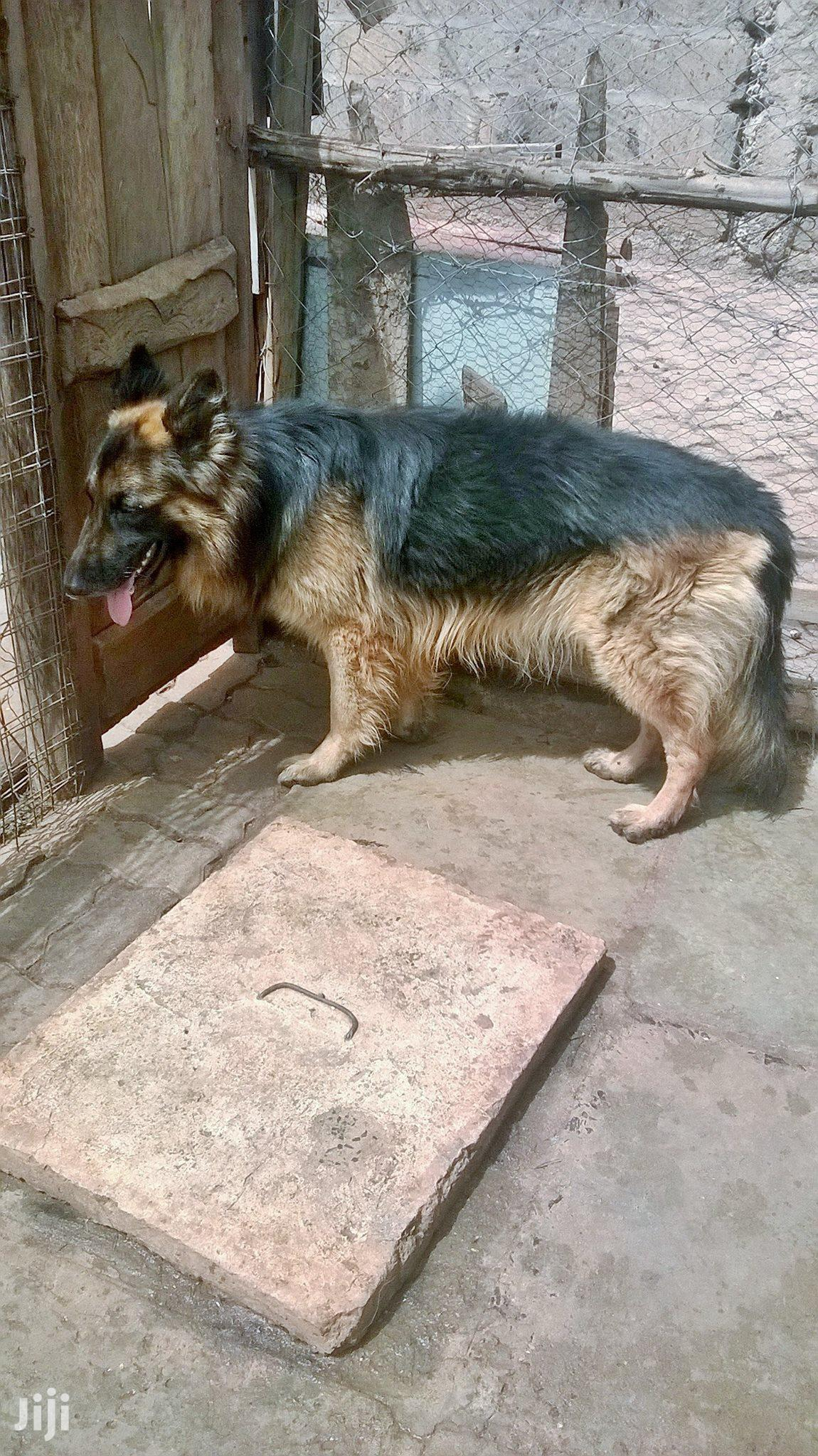 Archive: Adult Female Purebred German Shepherd