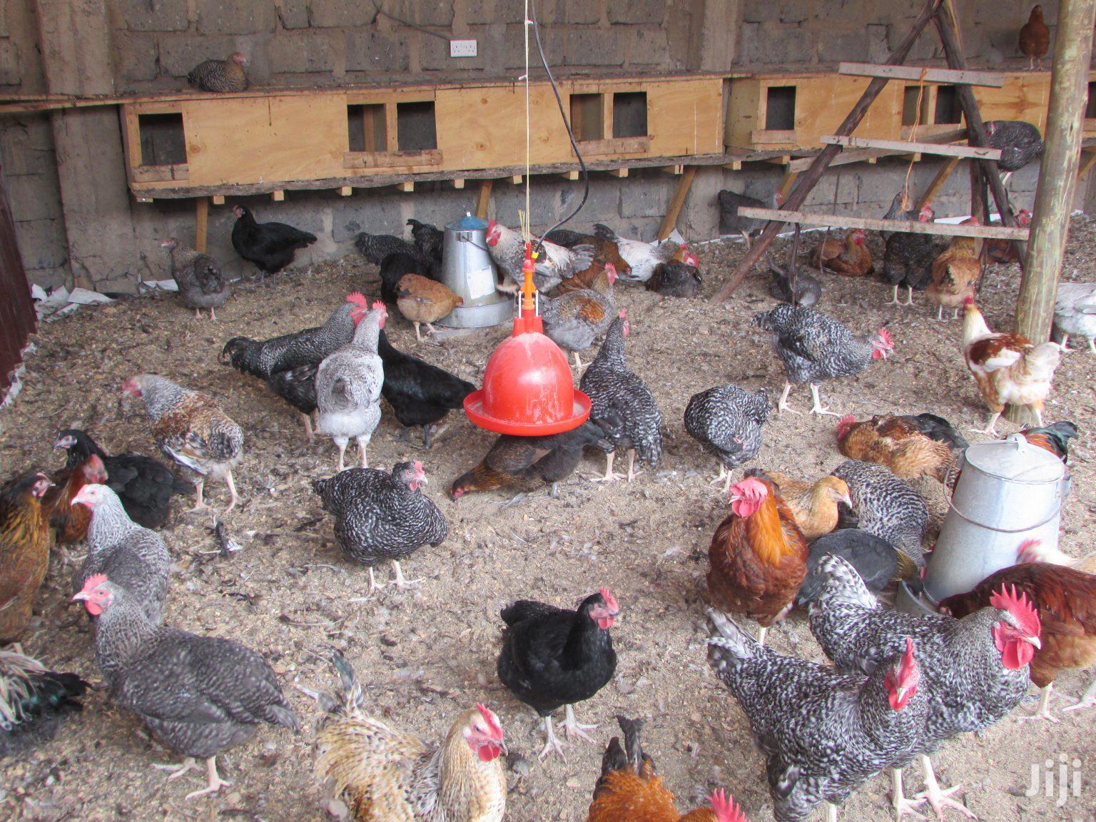 Kienyeji Jogoo & Chicken For Sale