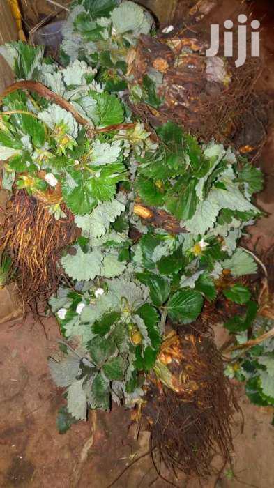 Chandler Strawberries Seedlings Ten Bobs Only | Feeds, Supplements & Seeds for sale in Nairobi Central, Nairobi, Kenya