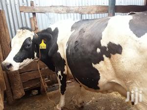 Pedigree High Yielding Dairy Cow | Livestock & Poultry for sale in Kiambu, Githunguri
