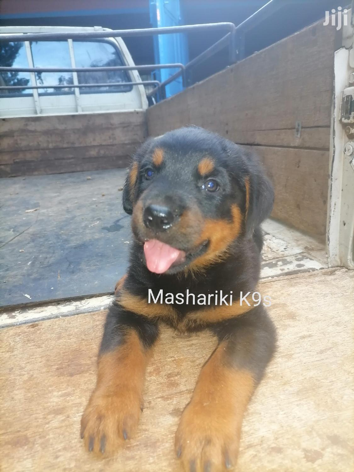 1-3 Month Male Purebred Rottweiler | Dogs & Puppies for sale in Muthaiga, Nairobi, Kenya