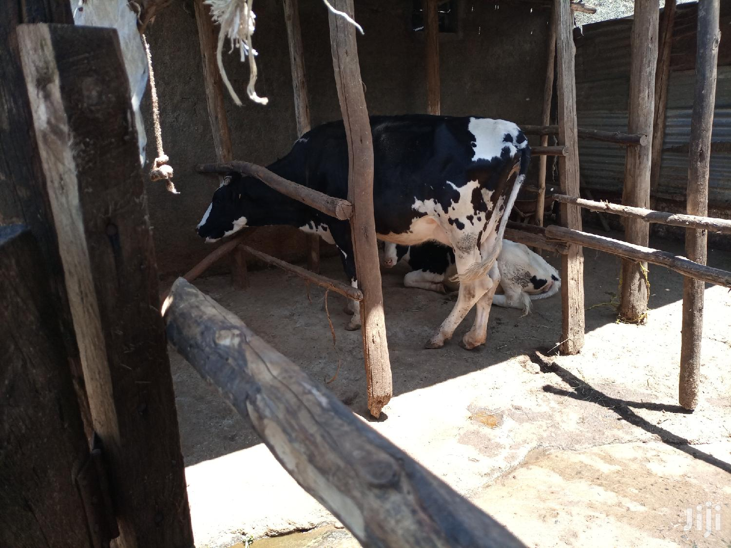 Archive: Dairy Cow For Sale