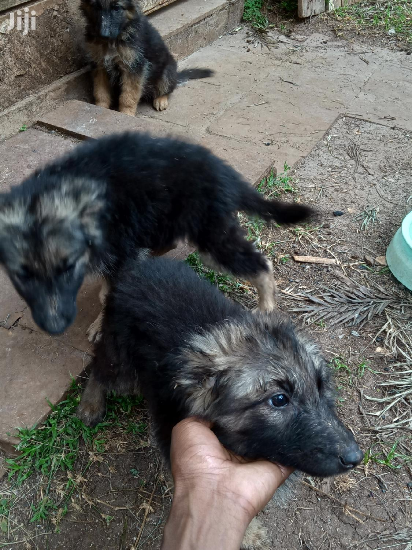 1-3 Month Female Purebred German Shepherd