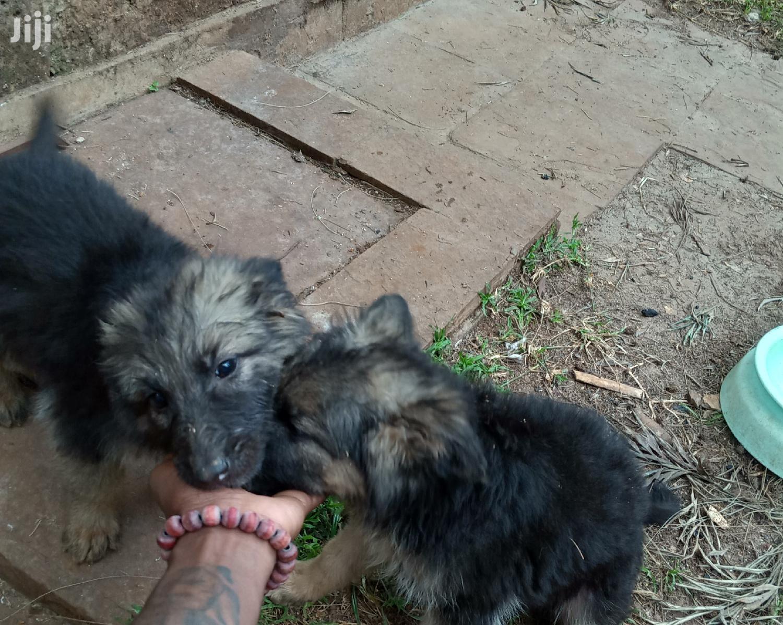1-3 Month Female Purebred German Shepherd   Dogs & Puppies for sale in Karen, Nairobi, Kenya