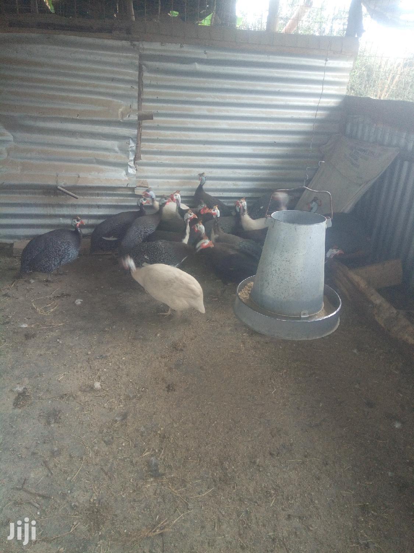 Archive: Guinea Fowl Fertilized Eggs For Sale