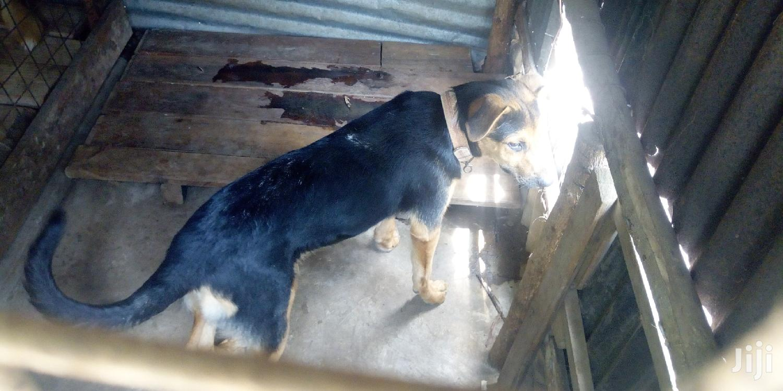 3-6 Month Female Mixed Breed German Shepherd