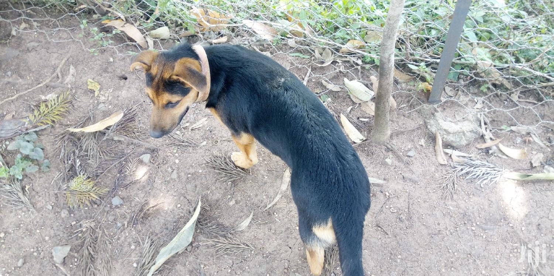 3-6 Month Female Mixed Breed German Shepherd | Dogs & Puppies for sale in Central Kisumu, Kisumu, Kenya