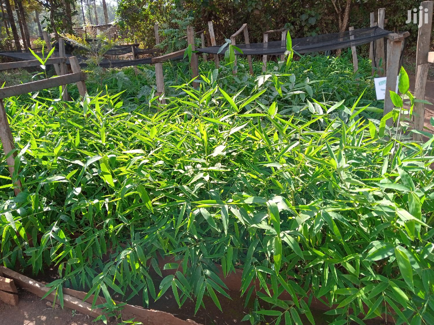 Archive: Bamboo Seedlings And Treated Bamboo Poles