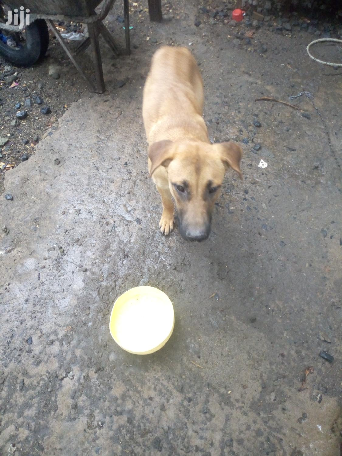 Archive: Young Female Mixed Breed Boerboel