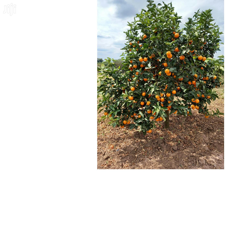 Pixie /Tangerine.. Seedlings
