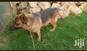 1-3 month Male Purebred German Shepherd | Dogs & Puppies for sale in Nairobi, Nairobi Central