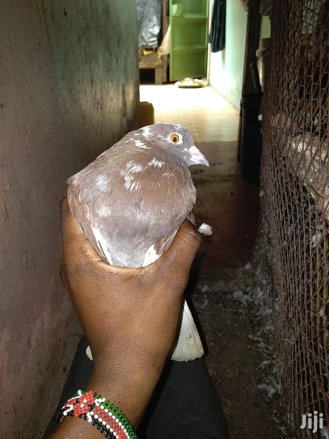 Archive: Adult Male Pigeon