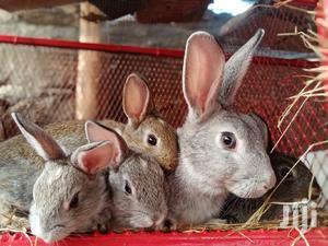Rabbit Breeders   Livestock & Poultry for sale in Nakuru, Nakuru Town East