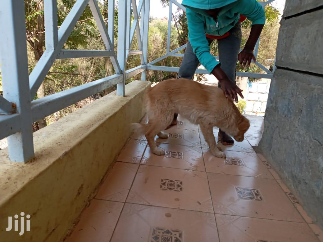 Archive: 3-6 month Female Mixed Breed Golden Retriever