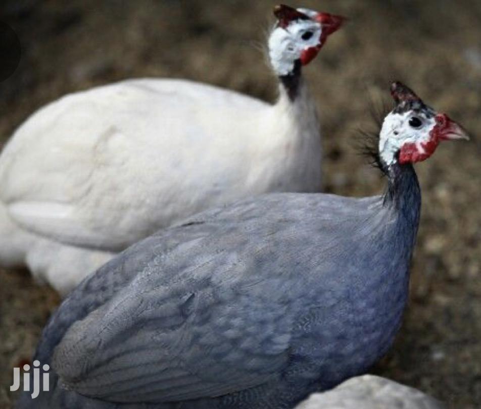 Archive: Guinea Fowl