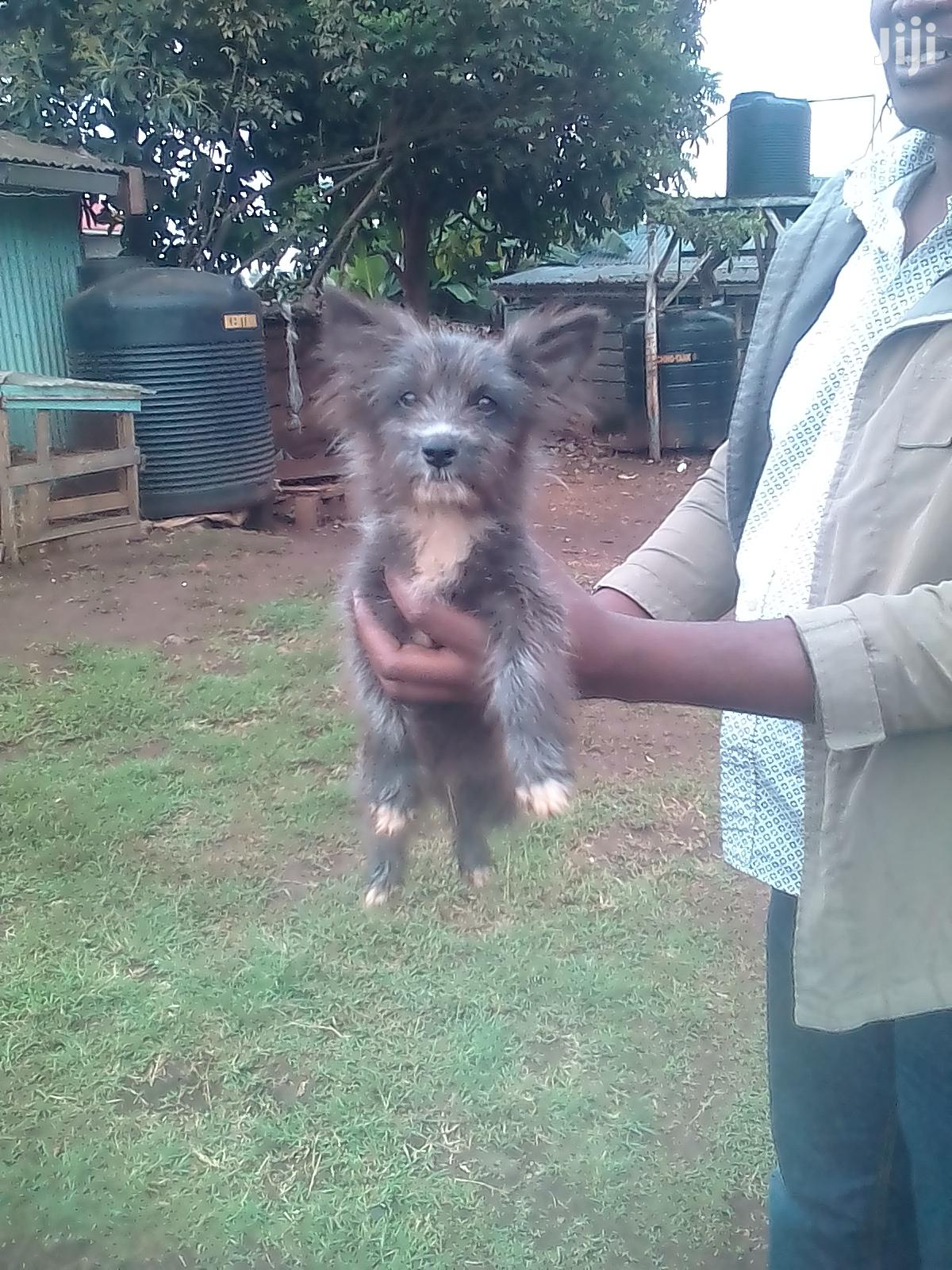 3-6 Month Male Purebred Australian Terrier