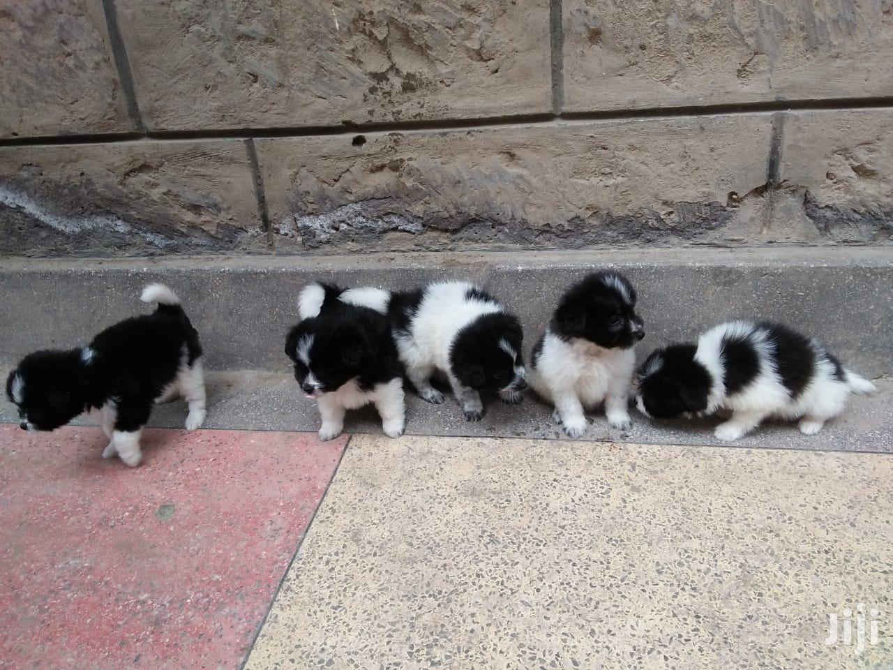 Archive: 1-3 Month Male Purebred Havanese