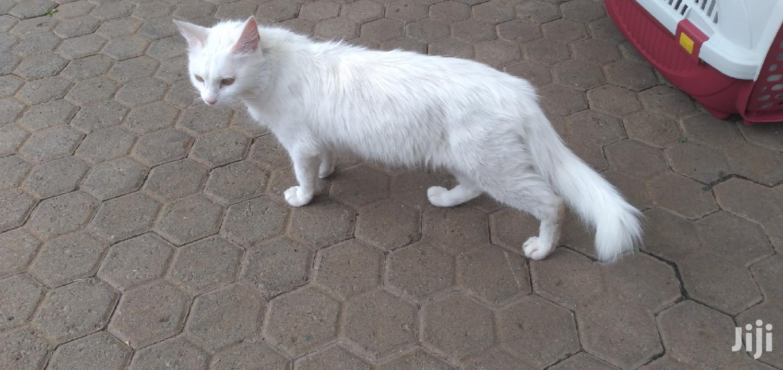 1-3 month Male Purebred Turkish Angora | Cats & Kittens for sale in Ndenderu, Kiambu, Kenya