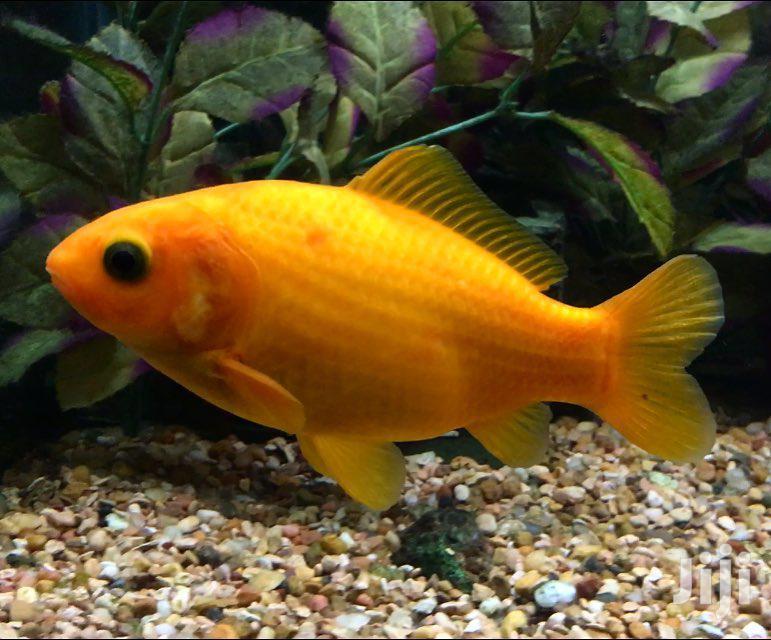 Archive: Aquarium Ornamental Fish