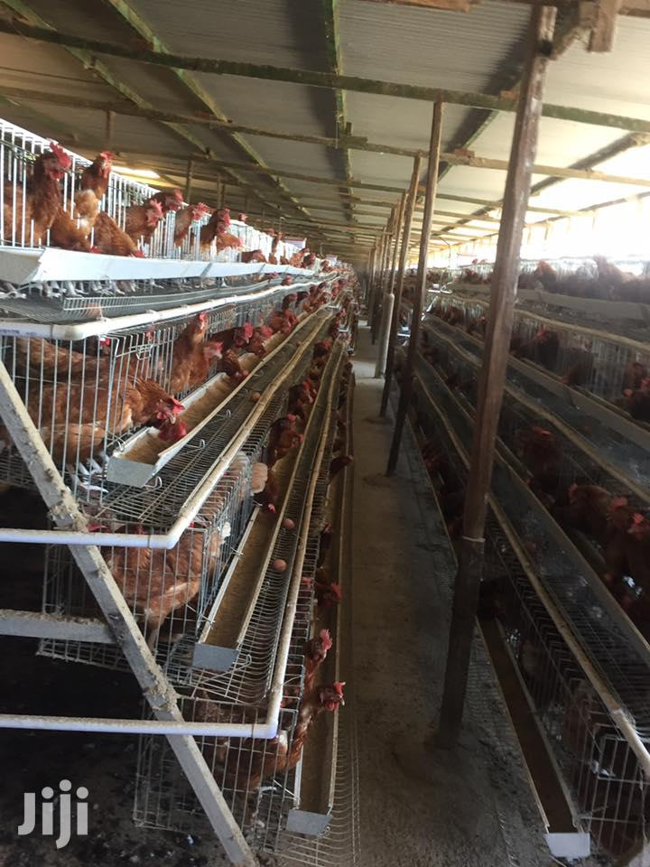 Galvanised Battery Chicken Cages