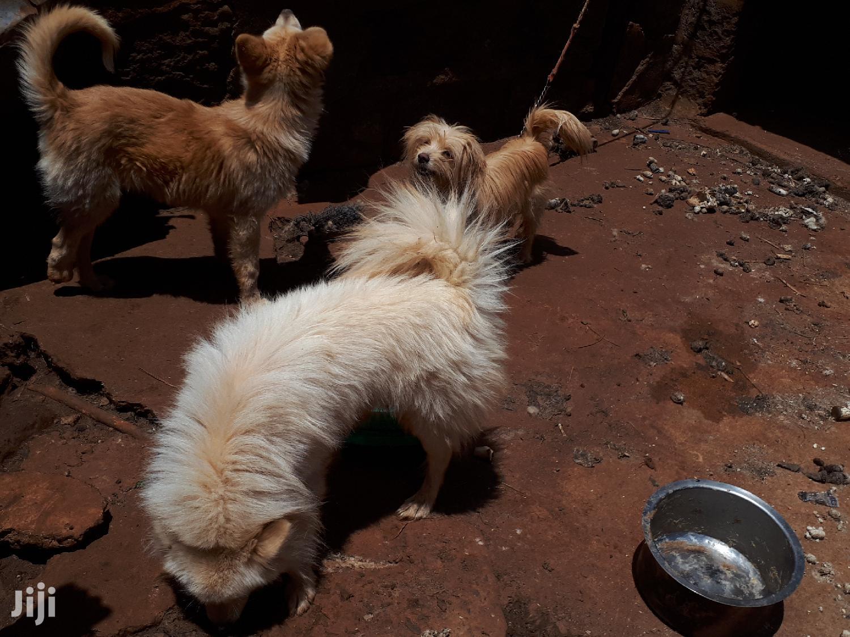 Archive: 6-12 Month Female Purebred Affenpinscher