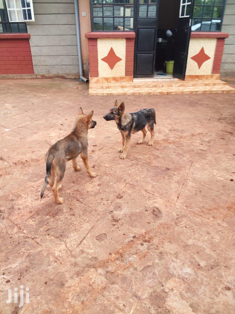 3-6 Month Male Purebred German Shepherd   Dogs & Puppies for sale in Kabete, Kiambu, Kenya