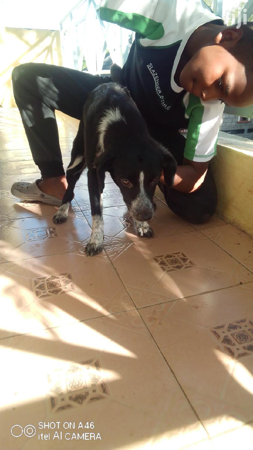 Archive: 1-3 month Female Mixed Breed Labrador Retriever