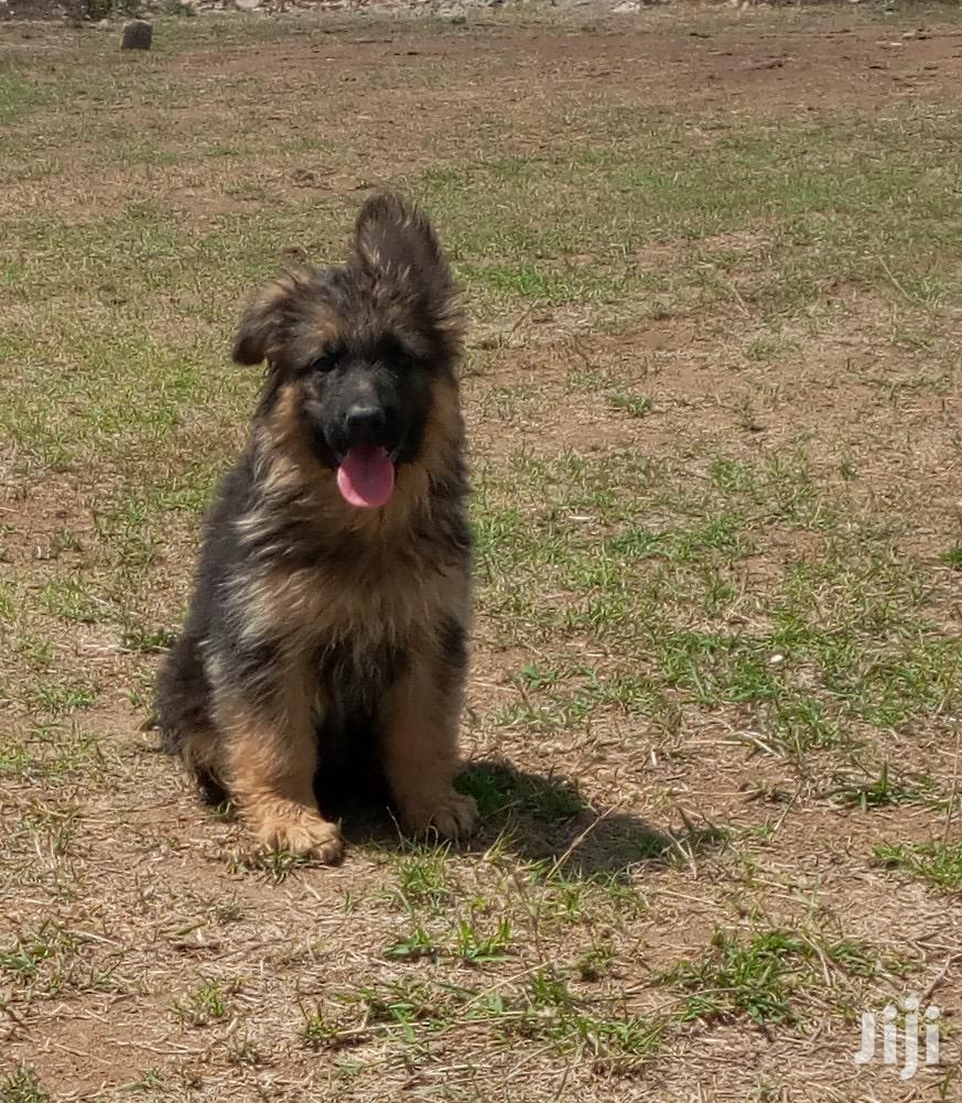 Archive: Baby Female Purebred German Shepherd