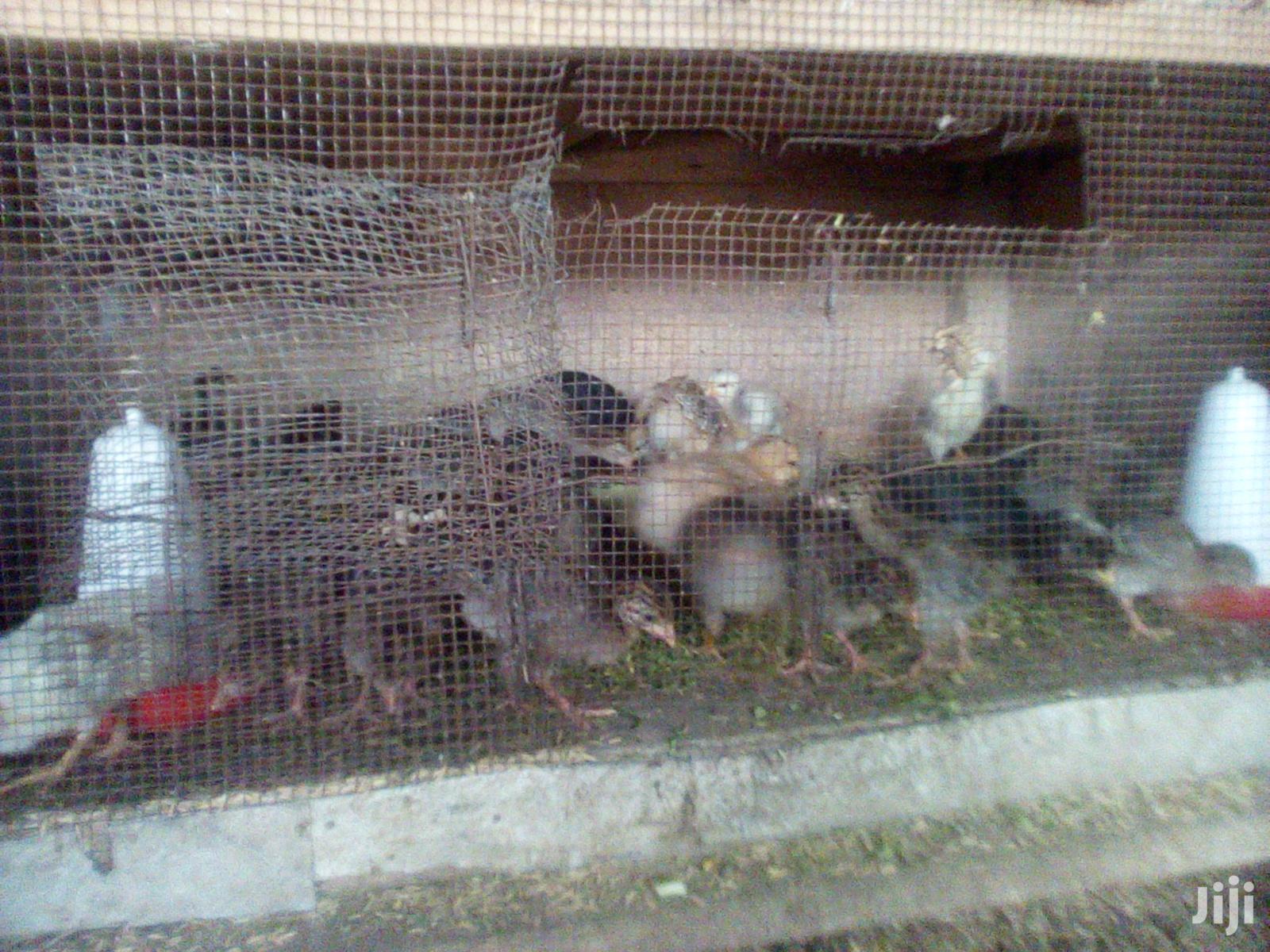 Guinea Fowls (Kanga Keets)   Livestock & Poultry for sale in Central Nyakach, Kisumu, Kenya